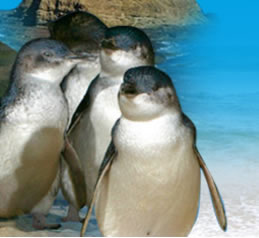 Phillip Island Penguin Parade - Wagga Wagga Accommodation
