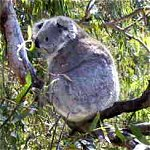 Koala Conservation Centre - Wagga Wagga Accommodation