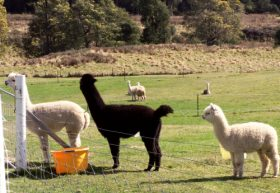 Maydena Country Cabins Accommodation  Alpaca Stud - Wagga Wagga Accommodation