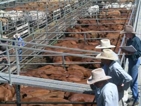 Dalrymple Sales Yards - Cattle Sales - Wagga Wagga Accommodation