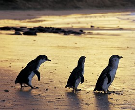 Phillip Island Nature Park - Wagga Wagga Accommodation