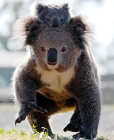 Koalas in Gunnedah - Wagga Wagga Accommodation