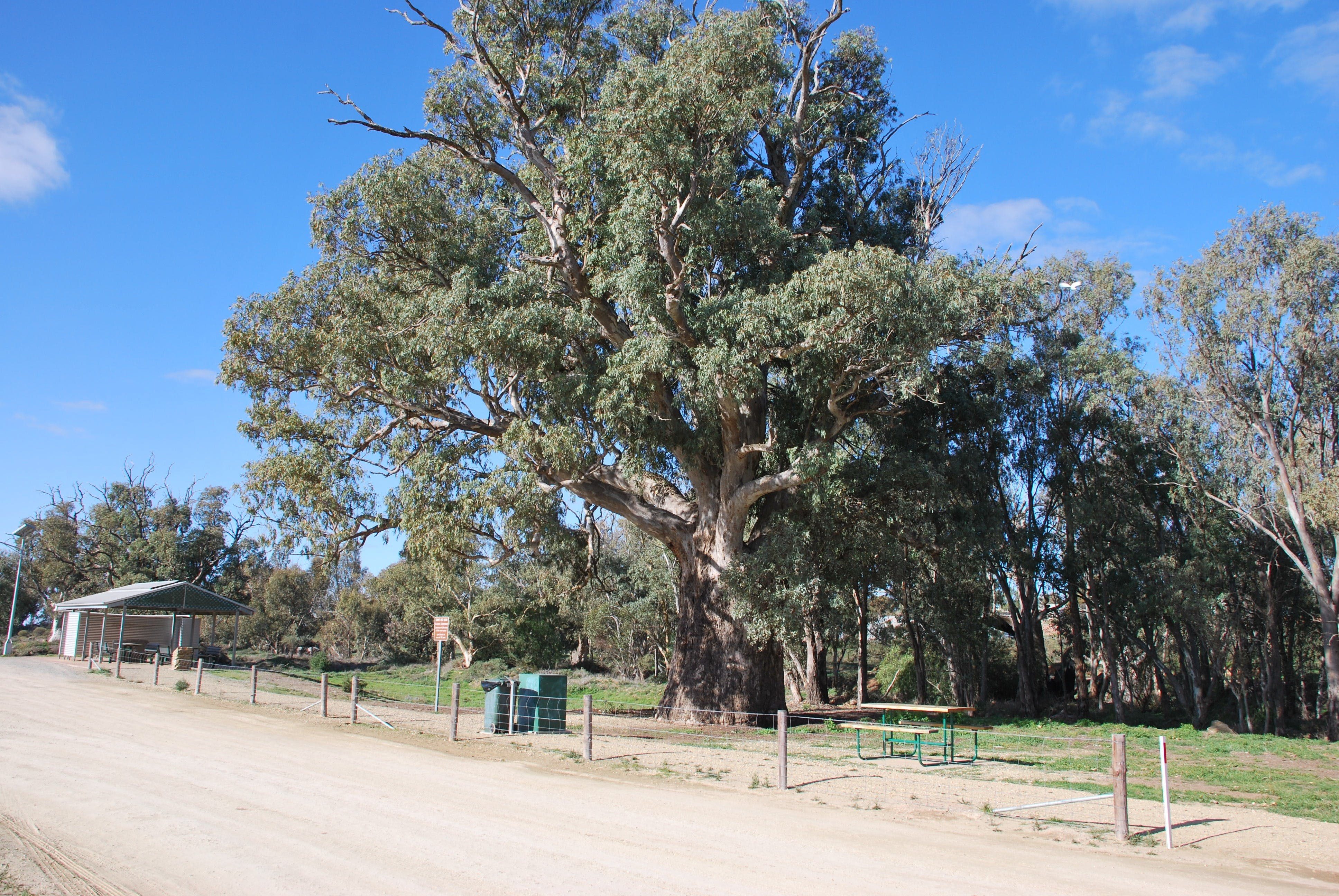 Giant Gum Tree - Wagga Wagga Accommodation