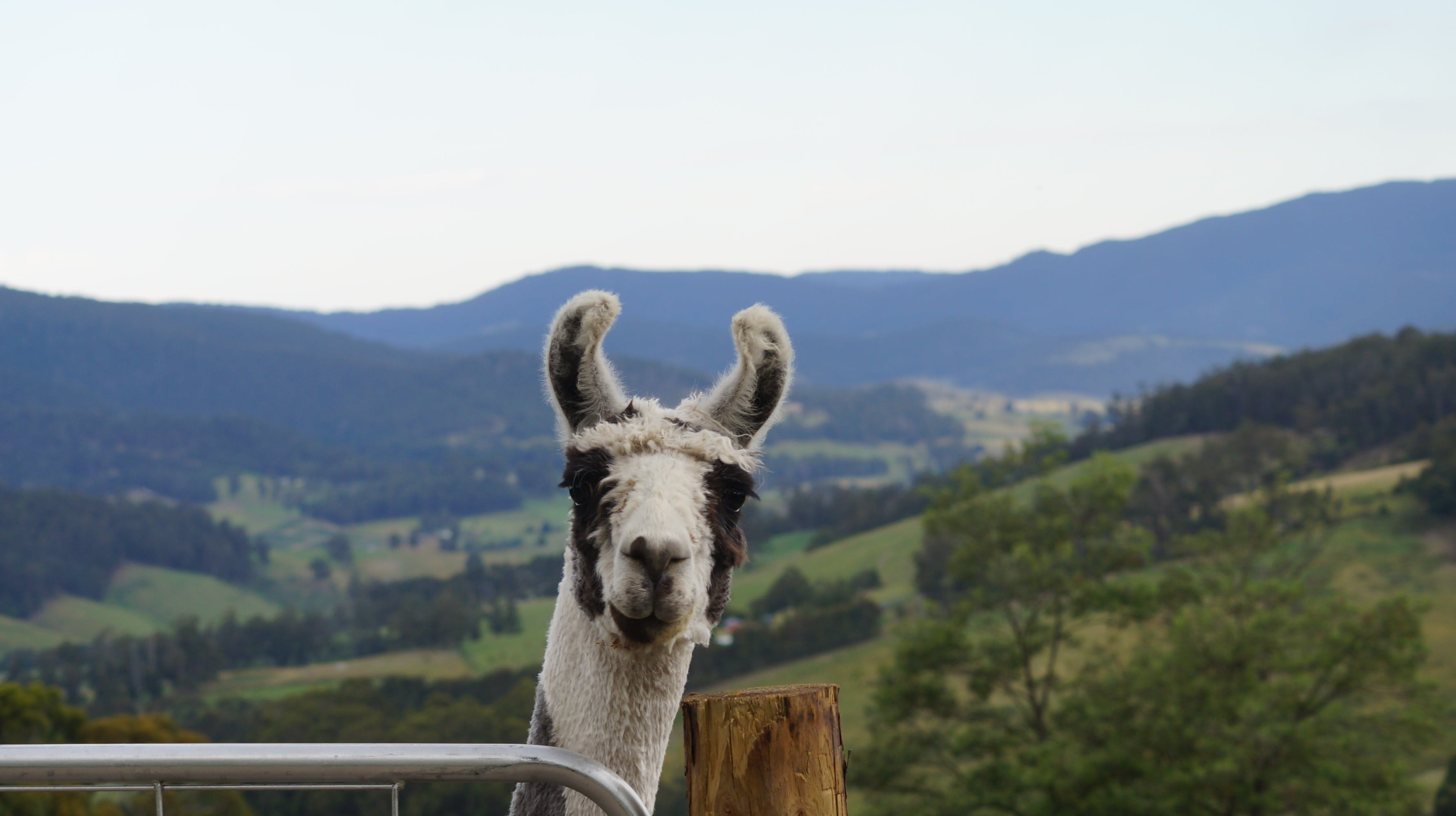 Llama Walks Tasmania - Wagga Wagga Accommodation