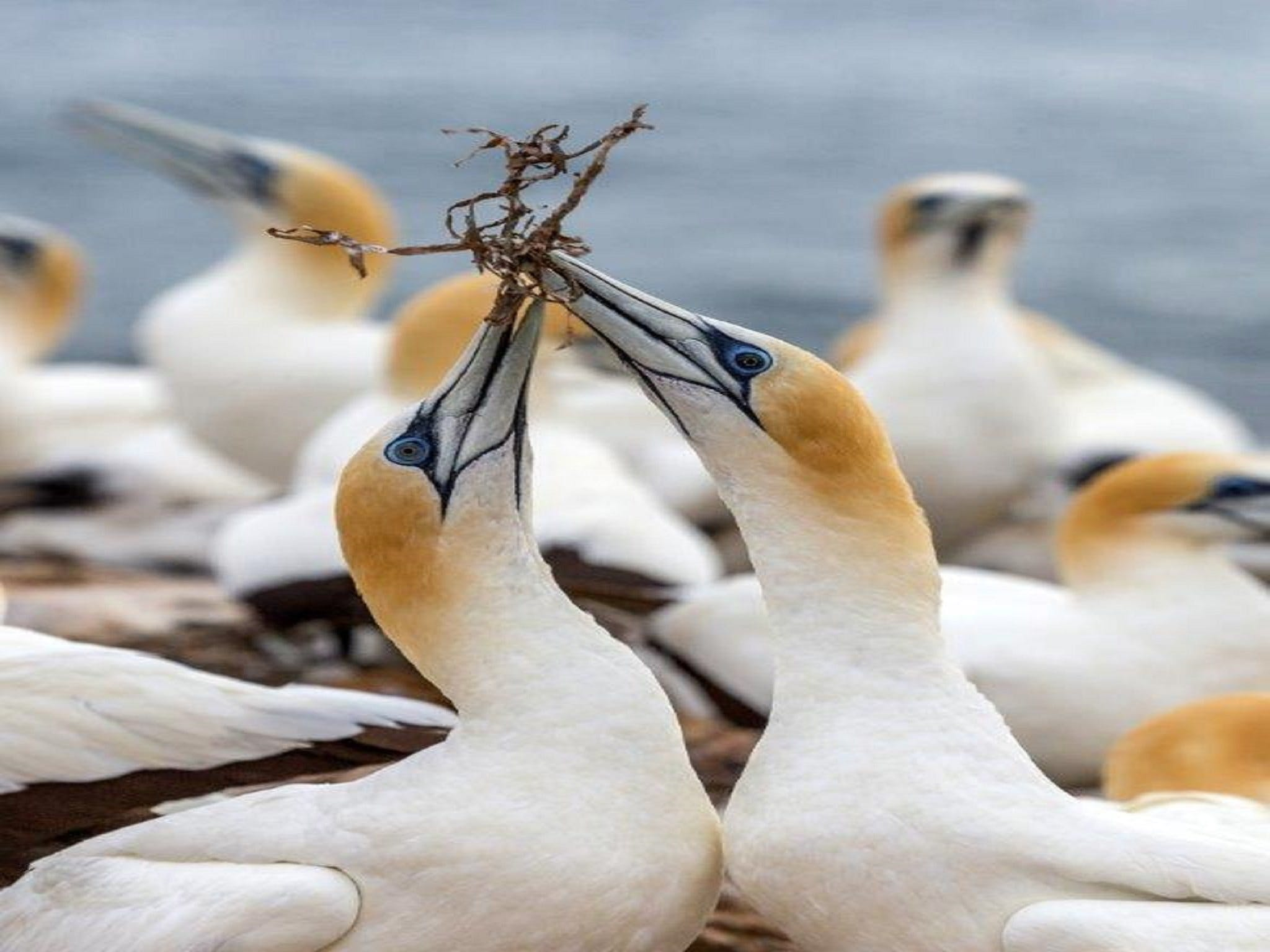 Gannets in Portland - Wagga Wagga Accommodation