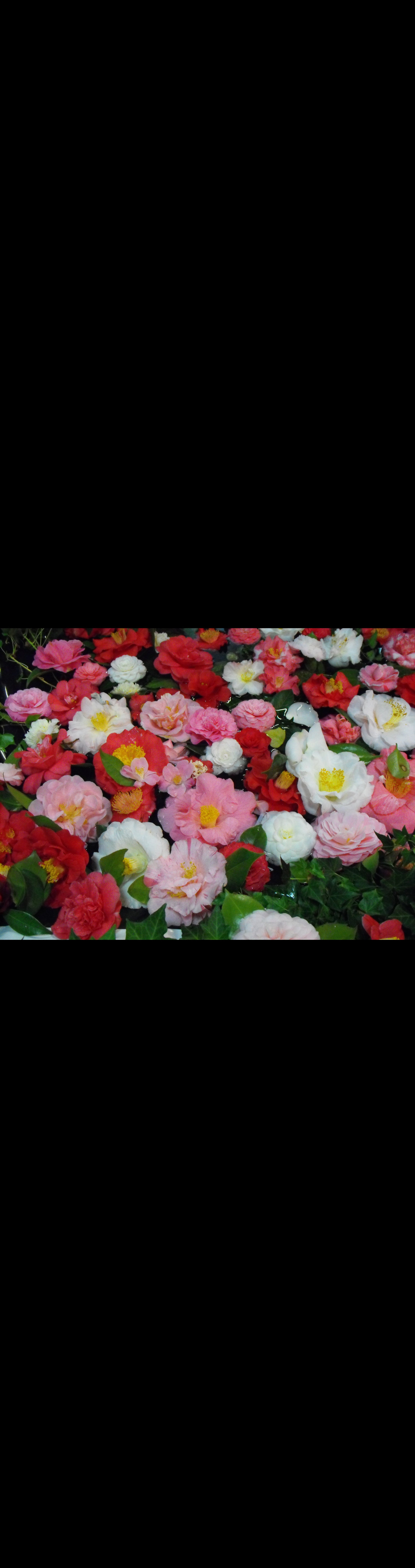 Camellia's Australia National Camellia Show - Wagga Wagga Accommodation