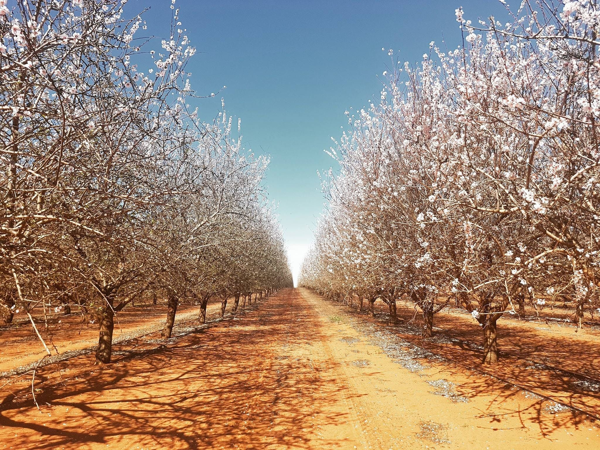 Mallee Almond Blossom Festival - Wagga Wagga Accommodation