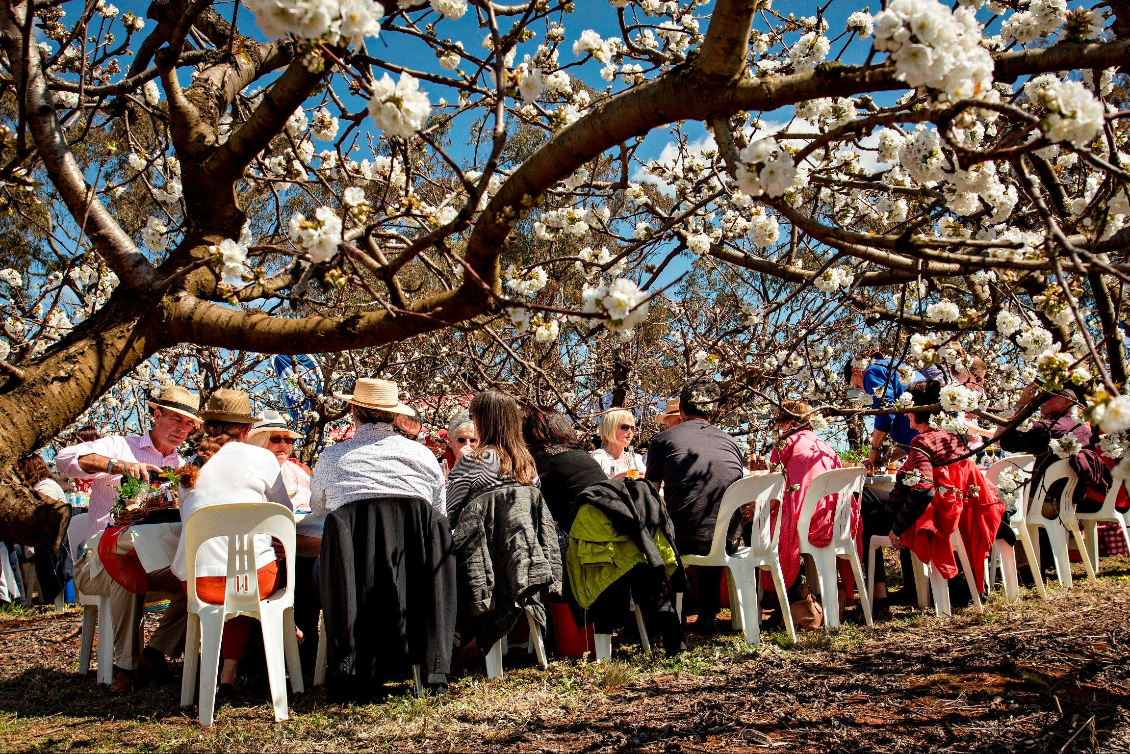 Young Cherry Blossom Long Lazy Lunch - Wagga Wagga Accommodation