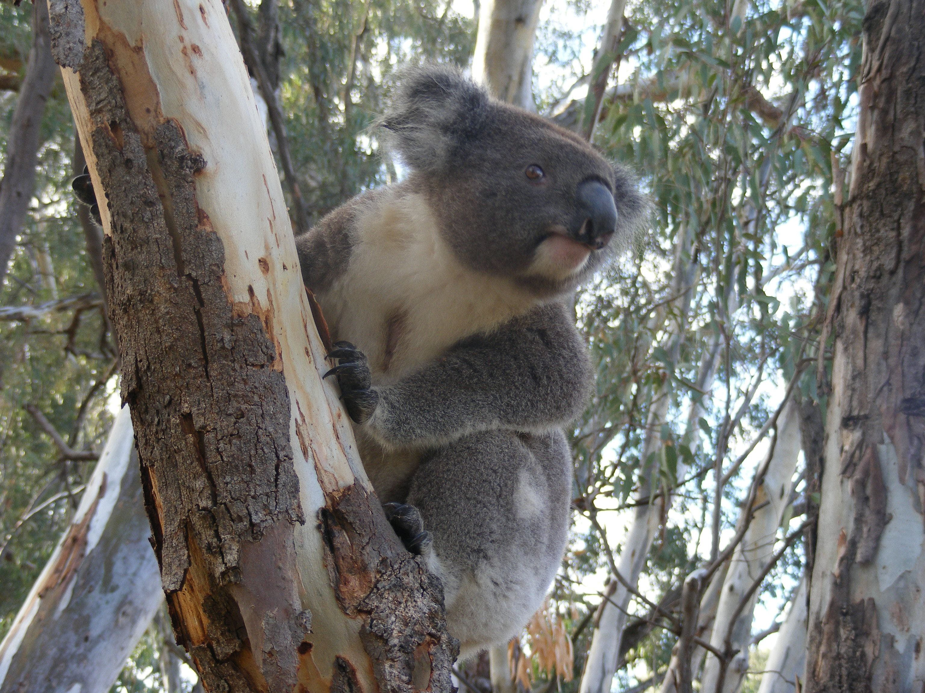 Annual Koala Count - Wagga Wagga Accommodation