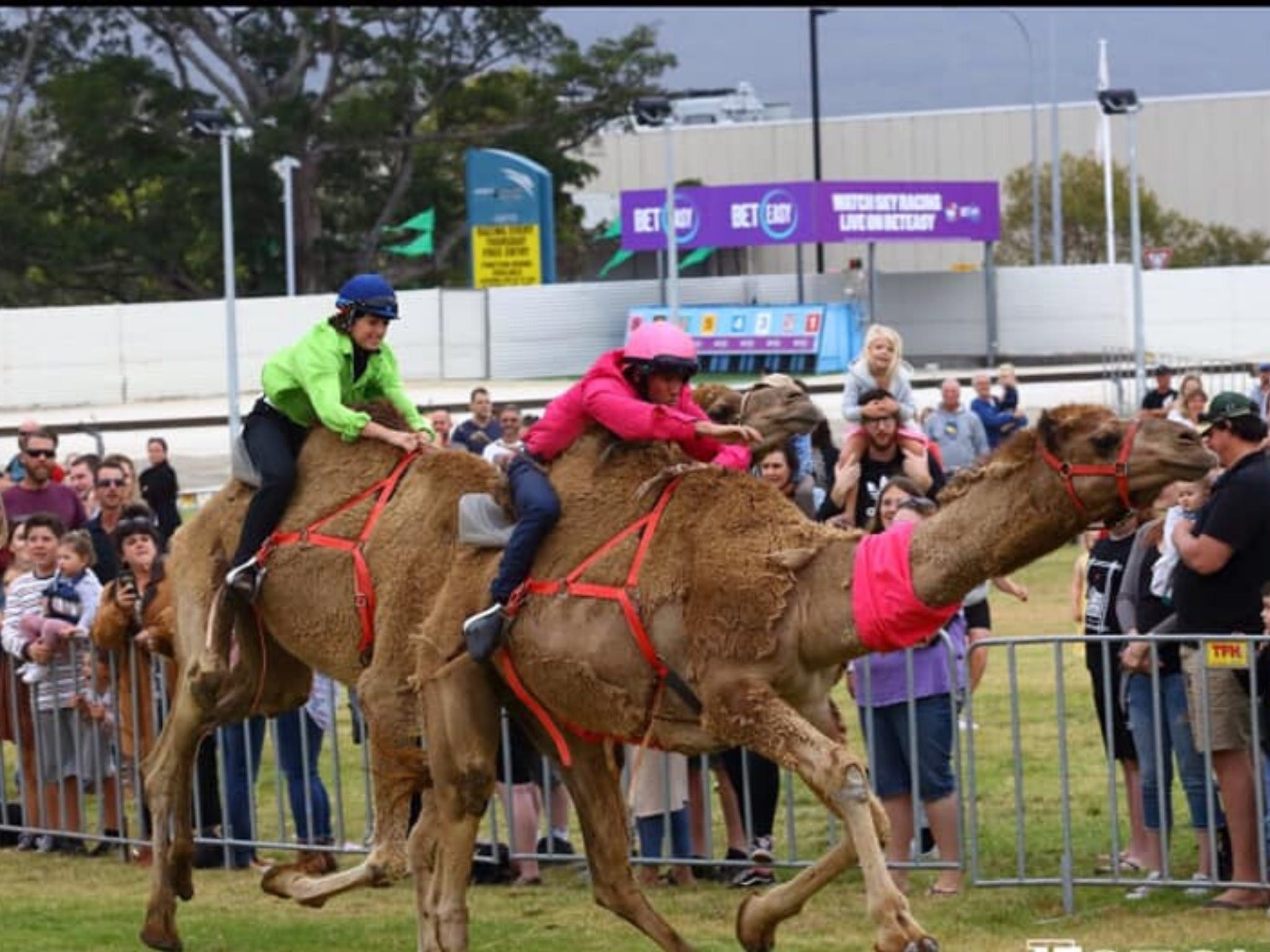 Camel Races at Gosford Showgrounds - Wagga Wagga Accommodation